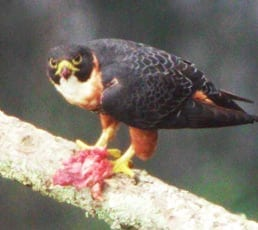 eagle belize birdwatching