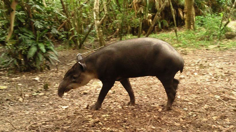 Tapir in Zoo